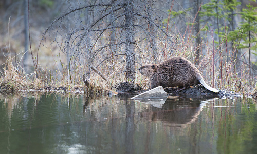 Beaver standing next to lake
